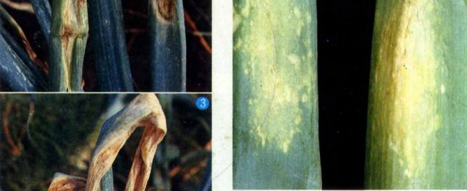 ホウレン草のベト病は玉葱には移らない!
