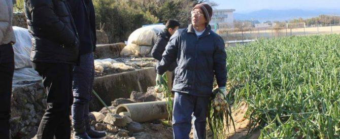 極早生系玉葱の肥料設計の考察