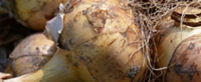 玉葱の肥料(特に追肥)のやり方について