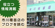 一代交配 緑鯨ししとうピーマン(ししとう)